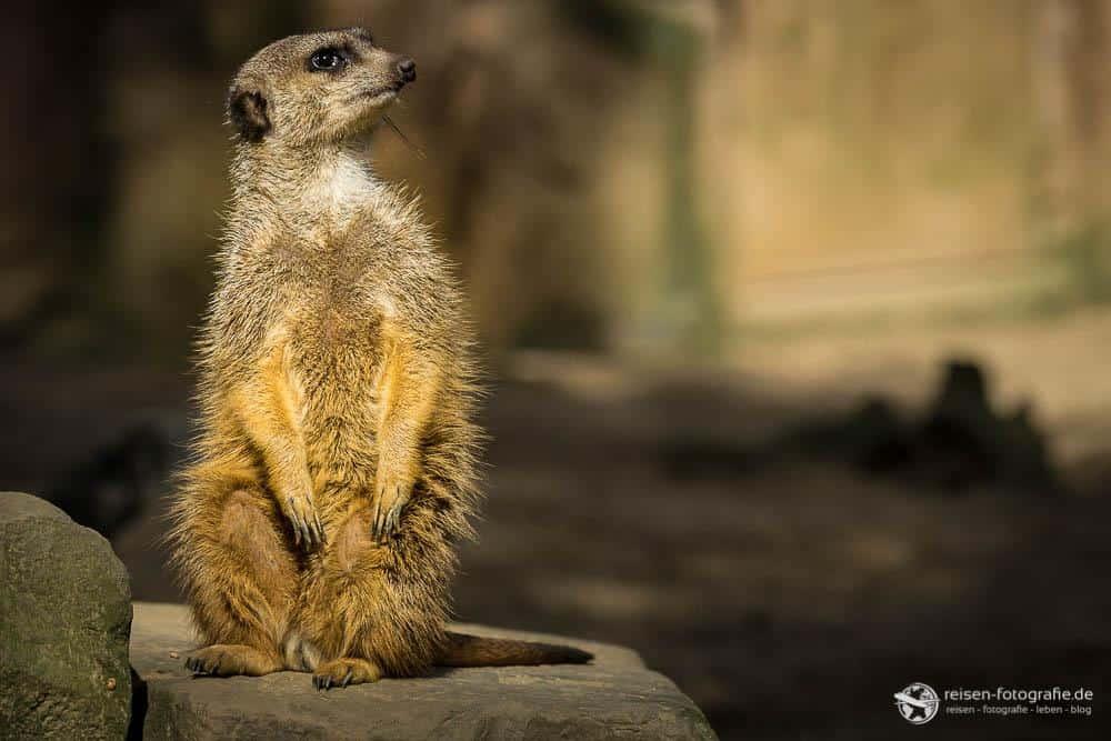 Zoo Duisburg - Erdmännchen