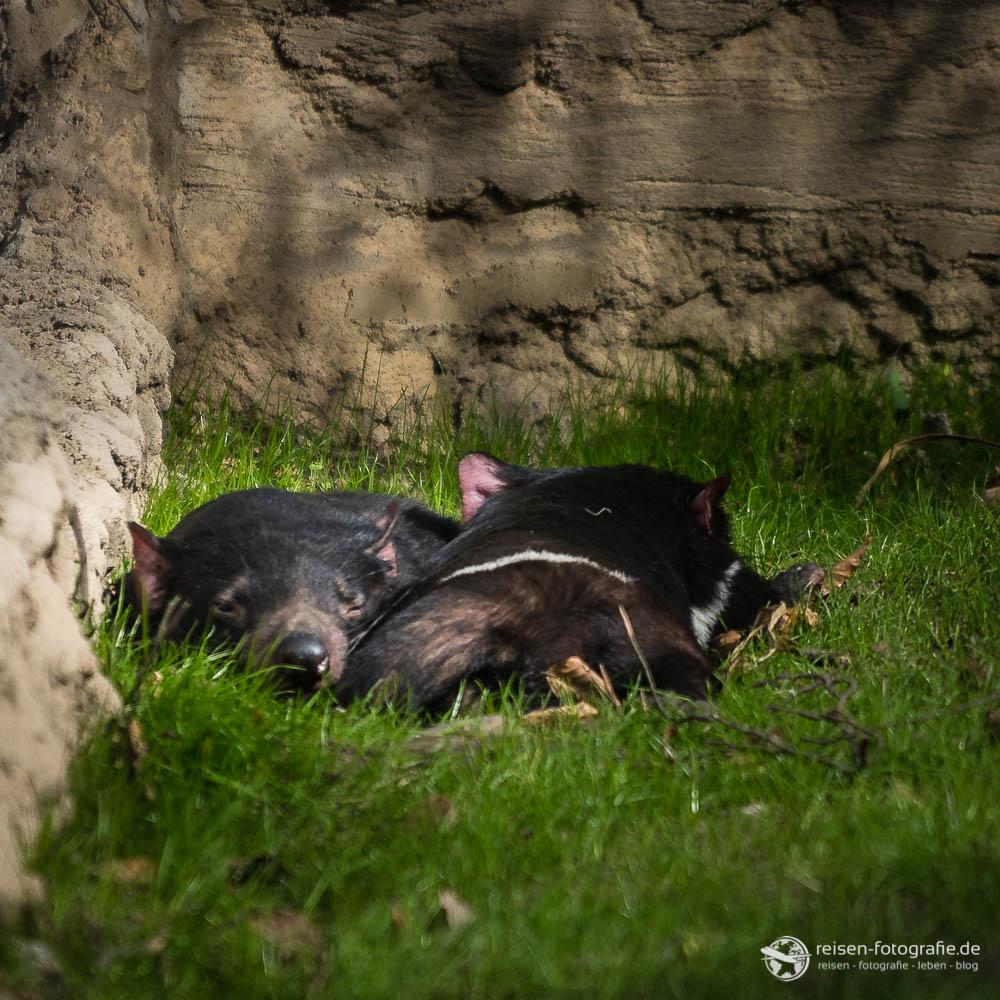Zoo Duisburg - Tasmanische Teufel