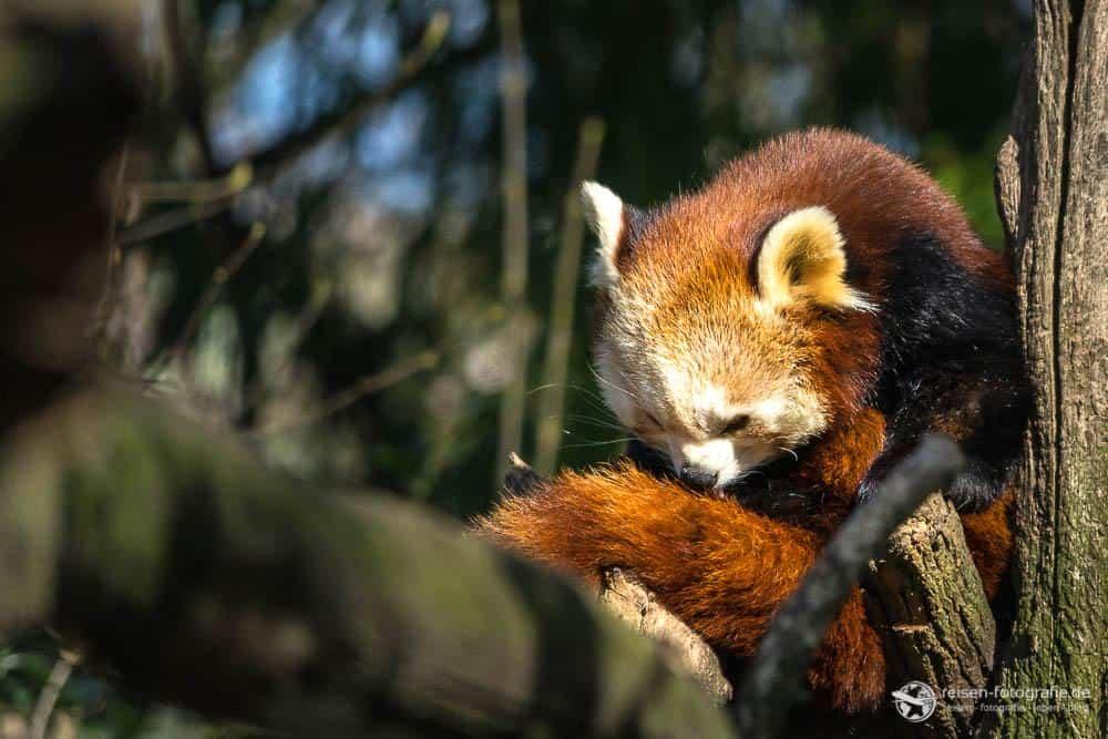 Zoo Duisburg - kleiner Panda