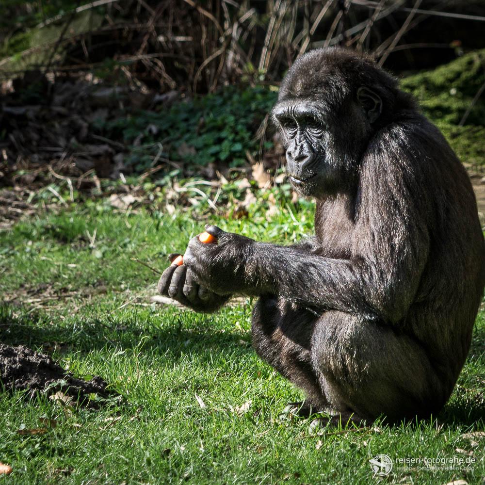 Zoo Duisburg - Gorilla