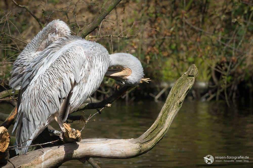 Zoo Duisburg - Pelikan