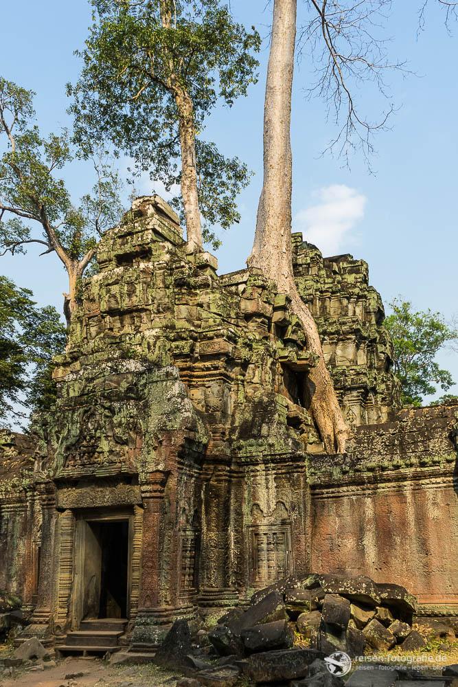 Bäume auf dem Dach in Ta Prohm