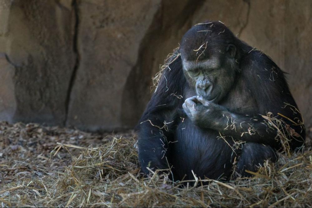 gorilla-nachher