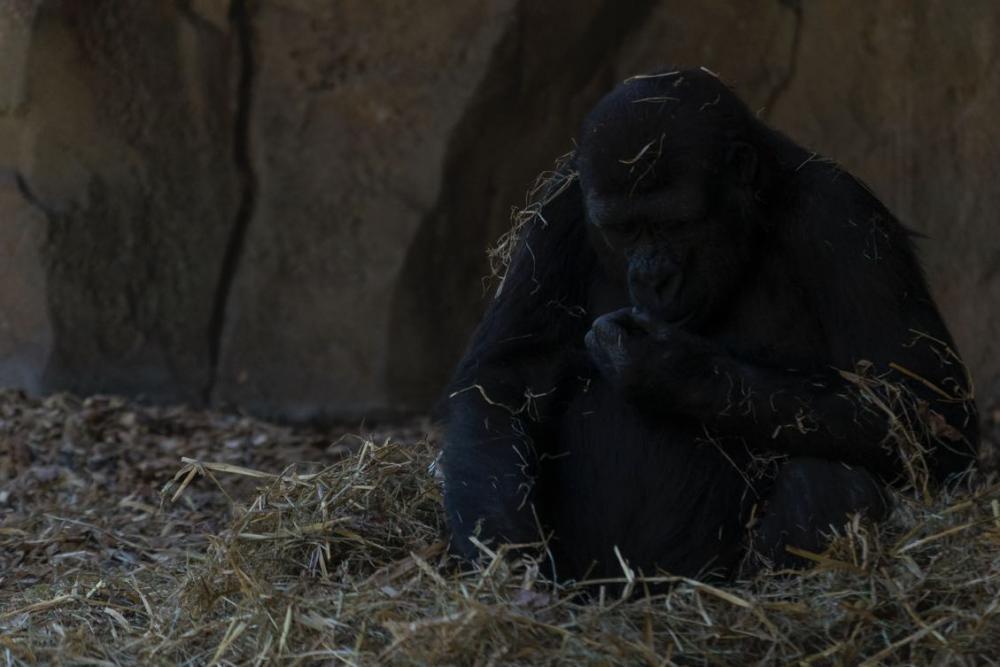 gorilla-vorher