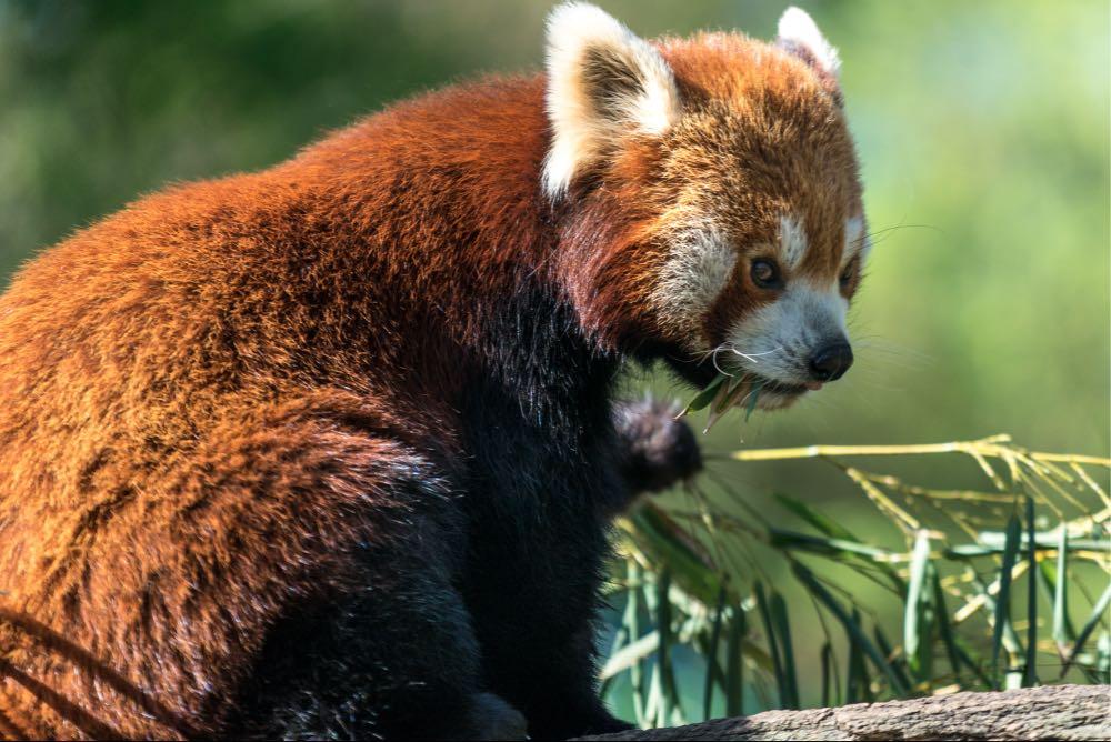 panda-nachher