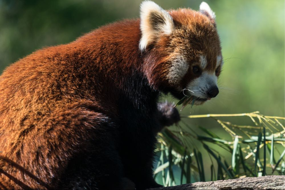 panda-vorher