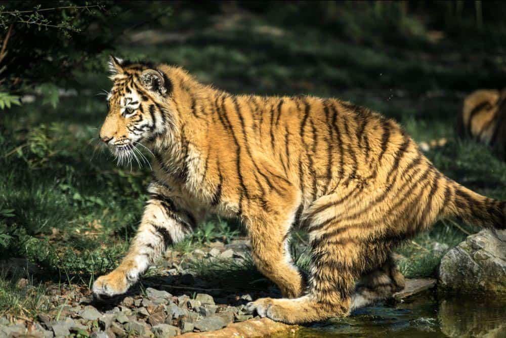 Tiger nachher