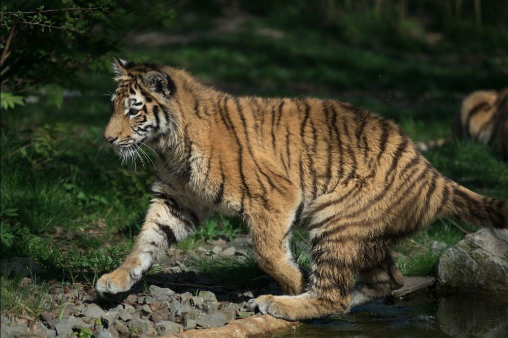 Tiger vorher