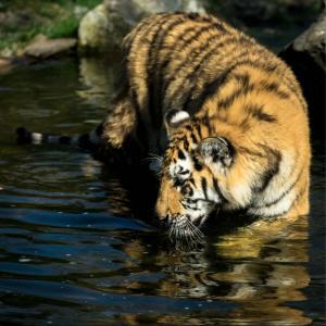 tiger2-nachher