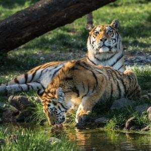 tiger3-nachher