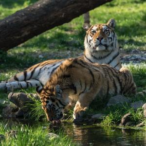 tiger3-vorher