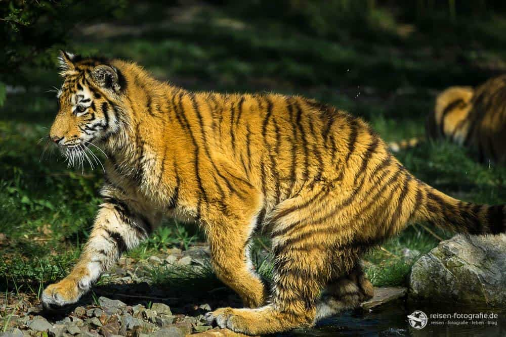 Tiger Mädchen Arila