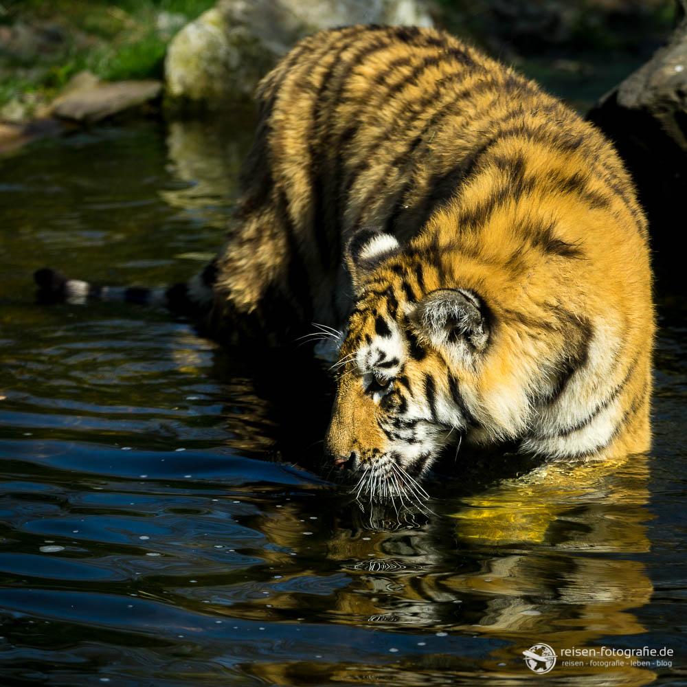 Nachwuchstiger Makar - bei dem Wetter kann man mal baden gehen