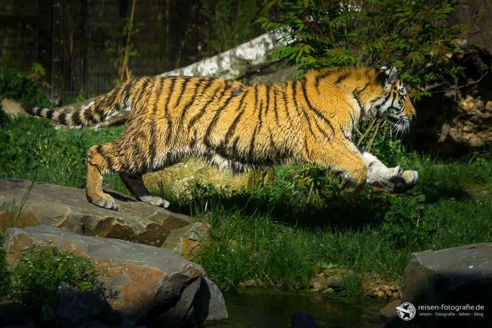 Rennerei im Tigergehege