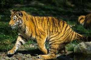 Tiger im Zoo Duisburg