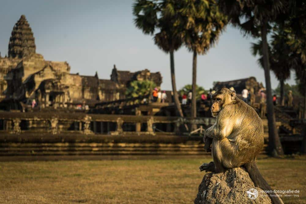 Tempelaffe in Angkor Wat