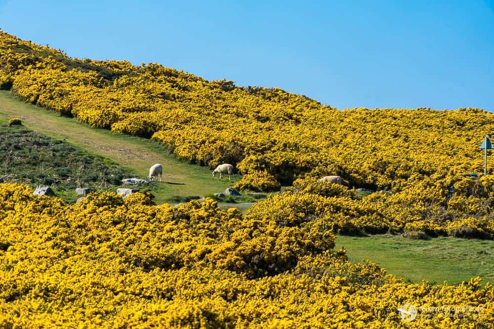 Hügel, Pflanzen, Schafe - Wales pur auf dem Great Orme!