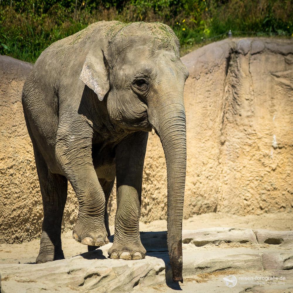 Elefant in Emmen