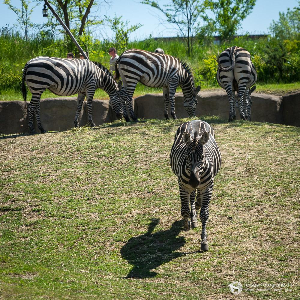Zebras in Emmen