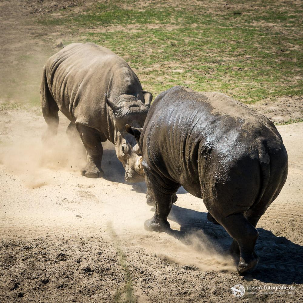 Miese Laune bei Nashorns