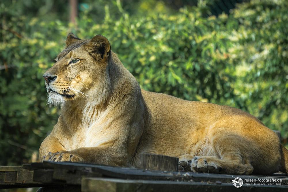 Löwendame im Zoo Amneville