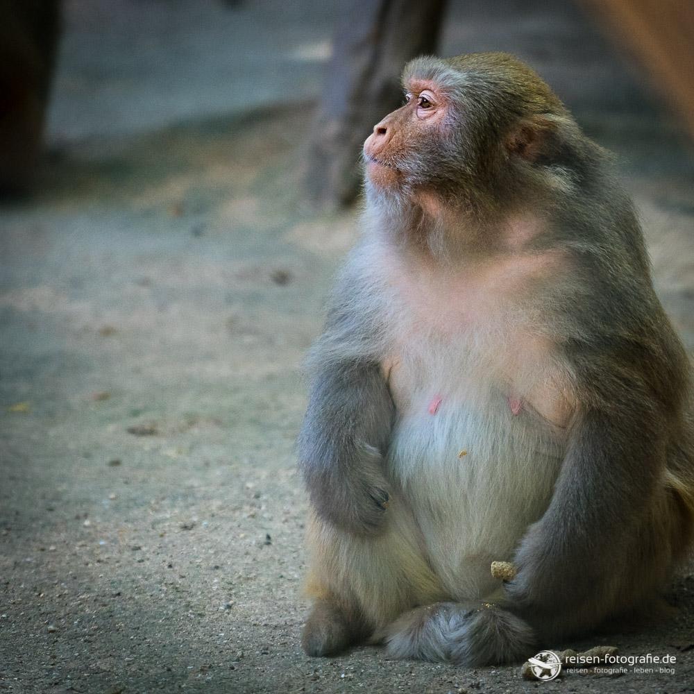 Affe im Zoo Amneville