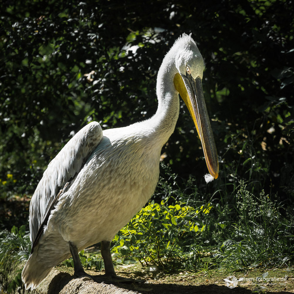 Pelikan im Zoo Amneville