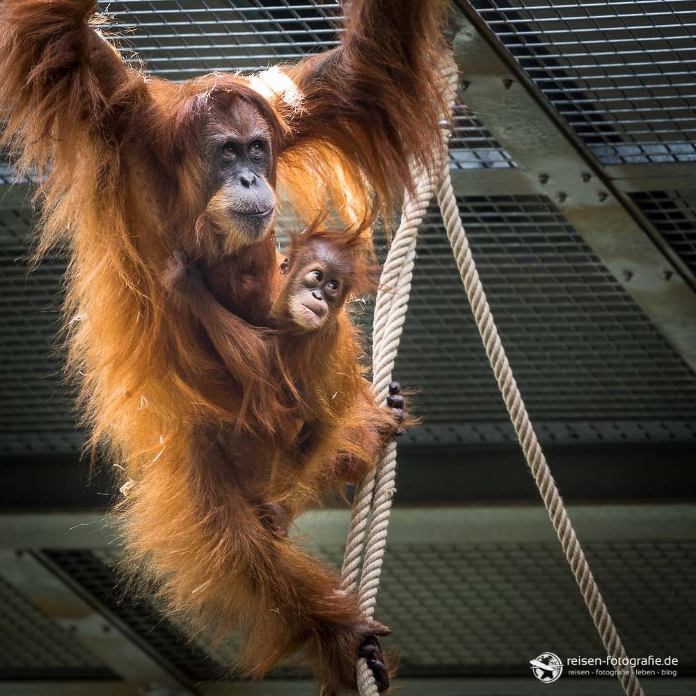 Orang Utan im Zoo Amneville