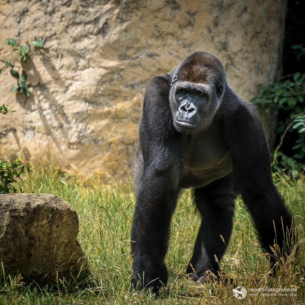 Gorilla Zoo Amneville