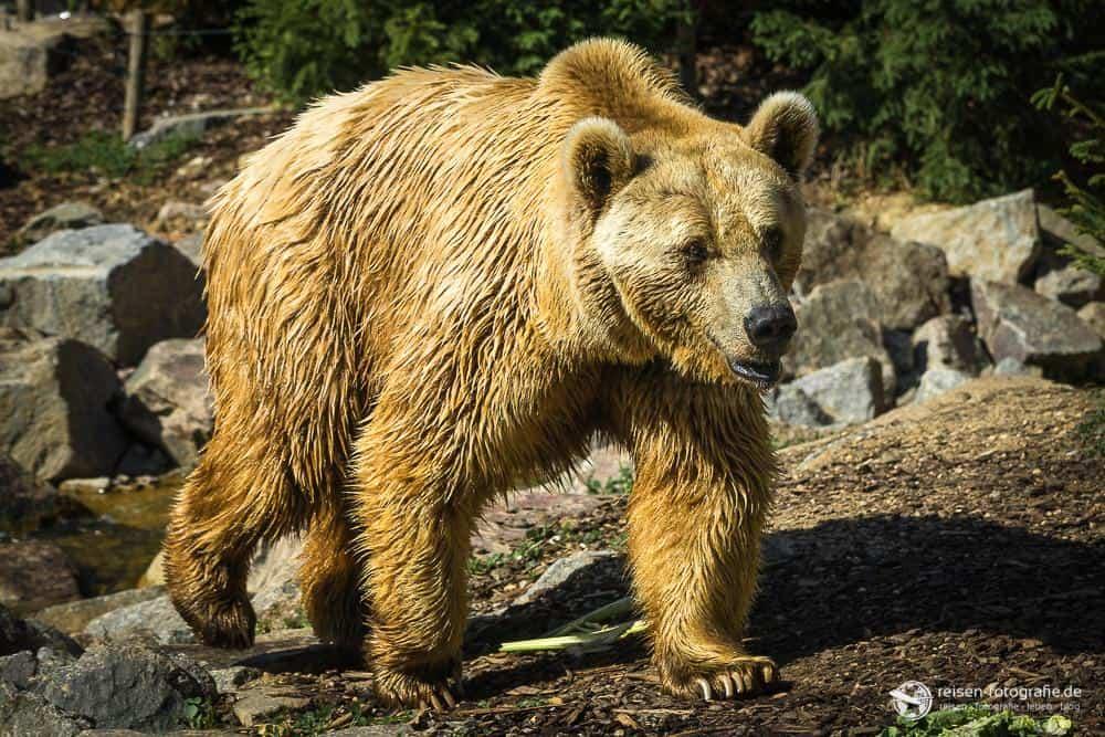 Bär Zoo Amneville