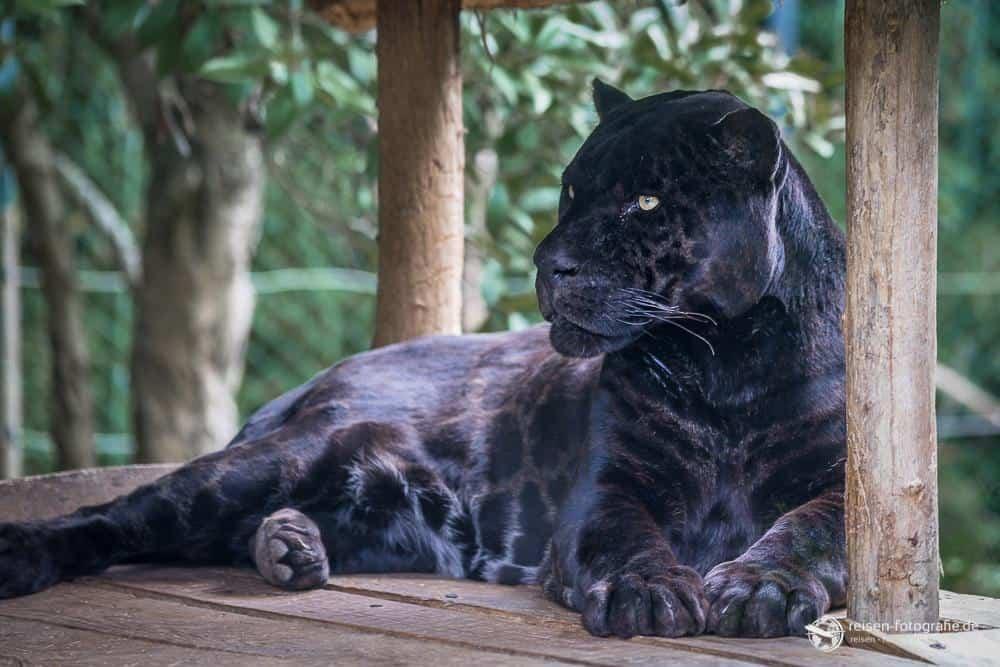 Schwarzer Leopard im Zoo Amneville