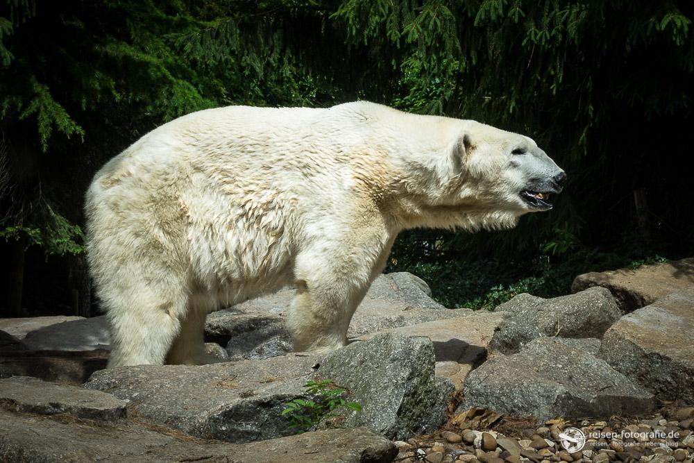 Eisbär im Zoo Amneville