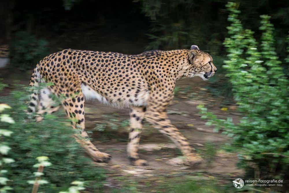 Gepard im Zoo Amneville