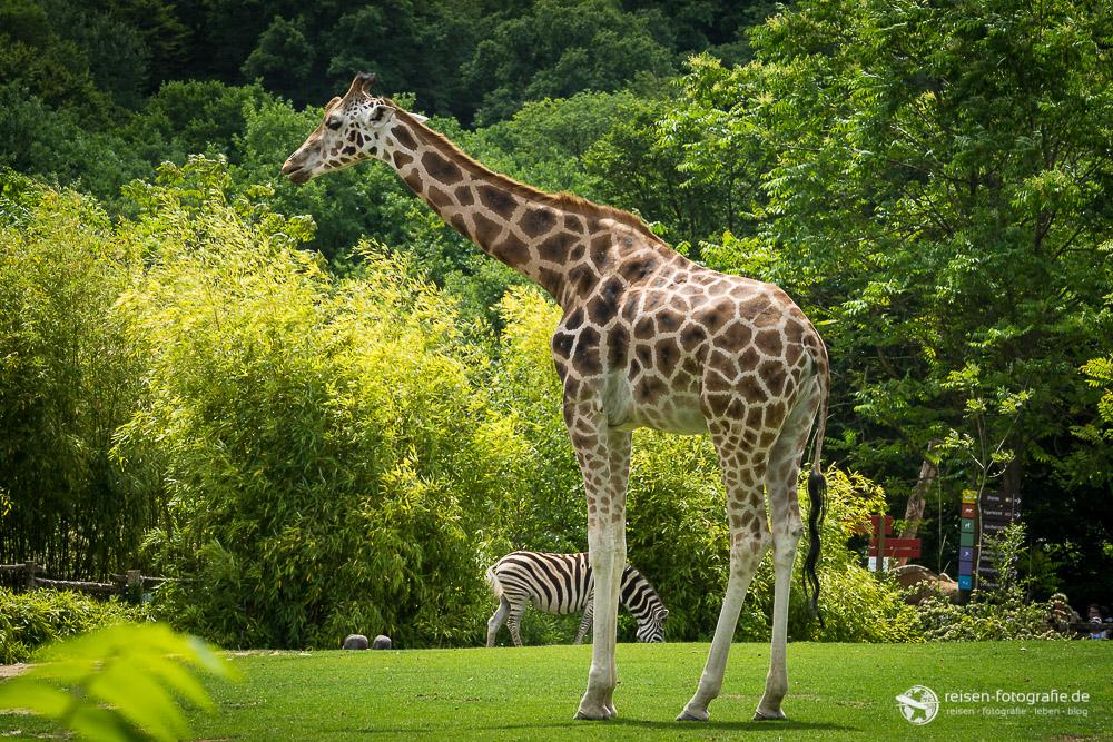 Giraffe im Zoo Amneville