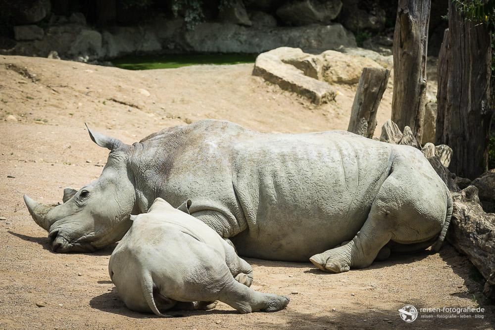 Nashorn im Zoo Amneville