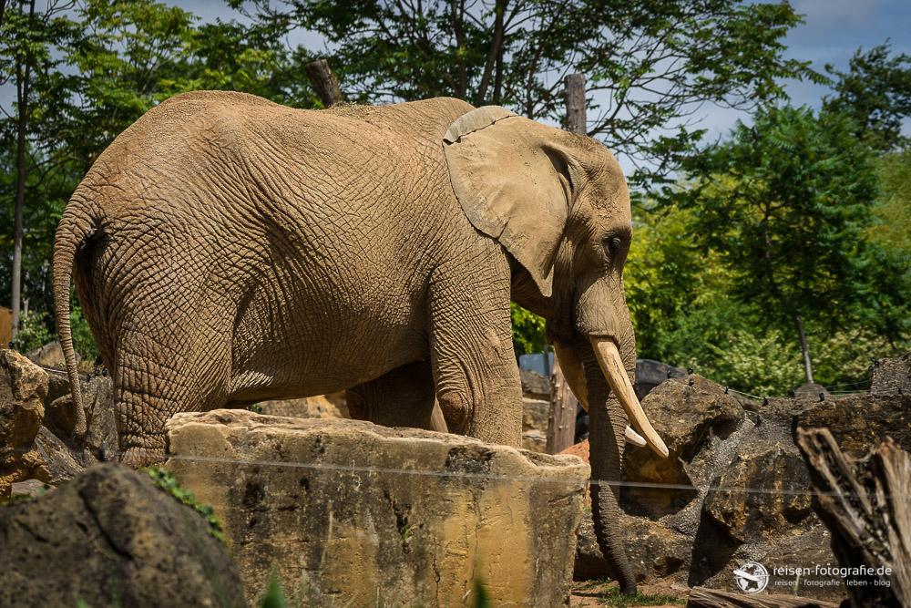 Elefant im Zoo Amneville