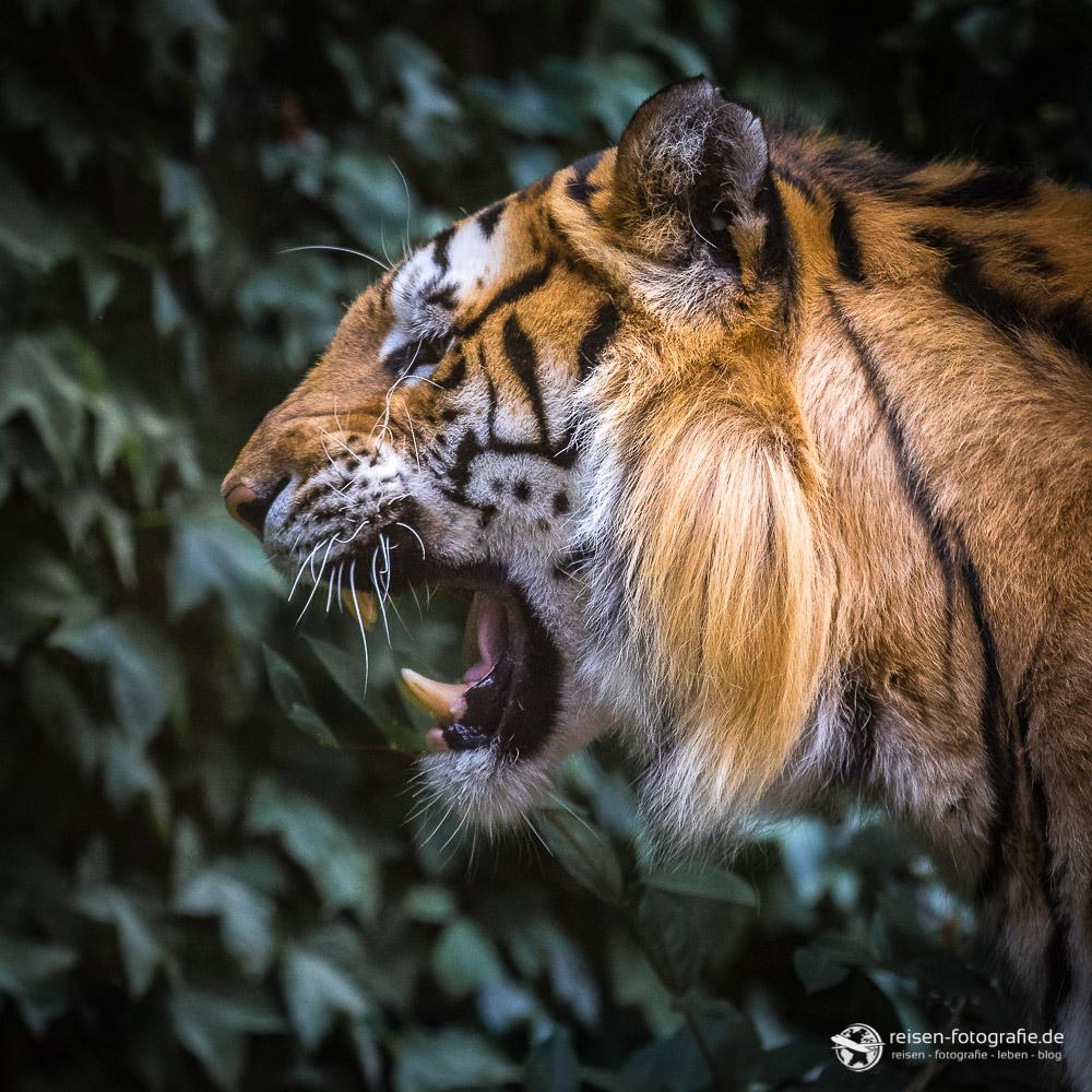 Tiger im Zoo Amneville