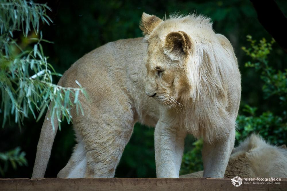 Weiße Löwin im Zoo Amneville