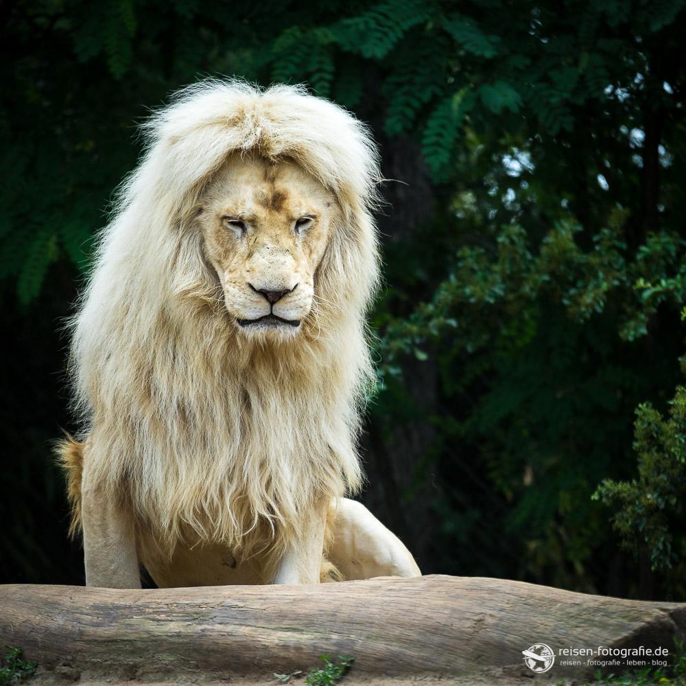 Weißer Löwe im Zoo Amneville