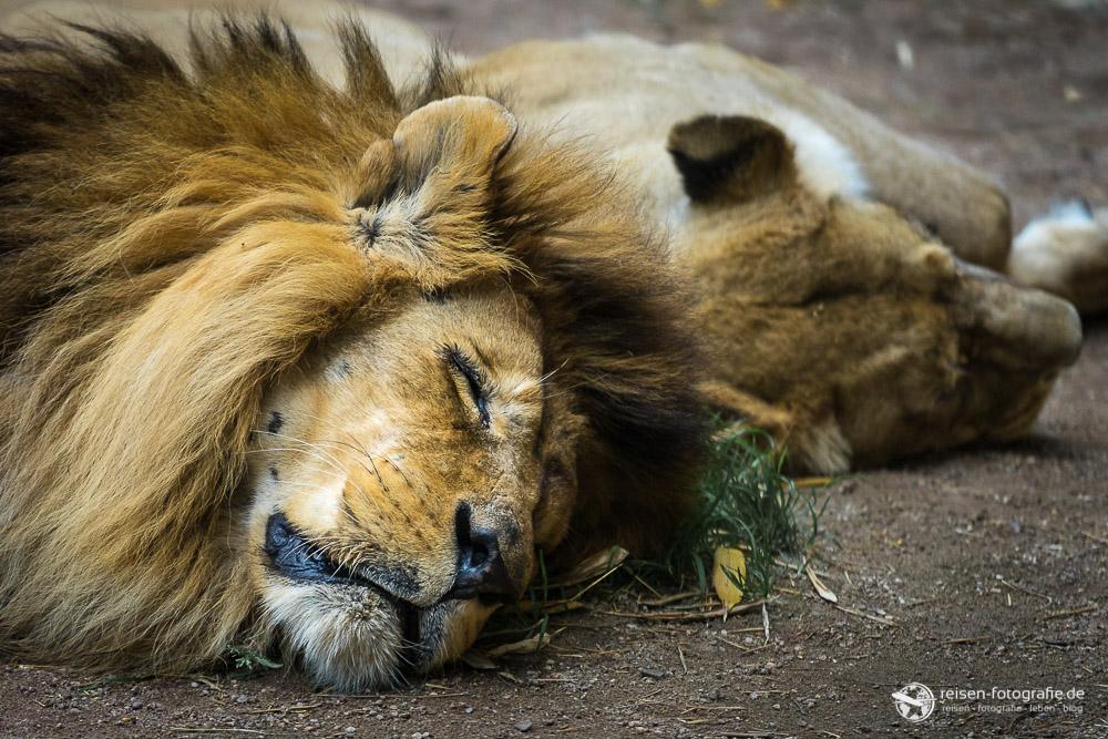 Löwen im Zoo Amneville