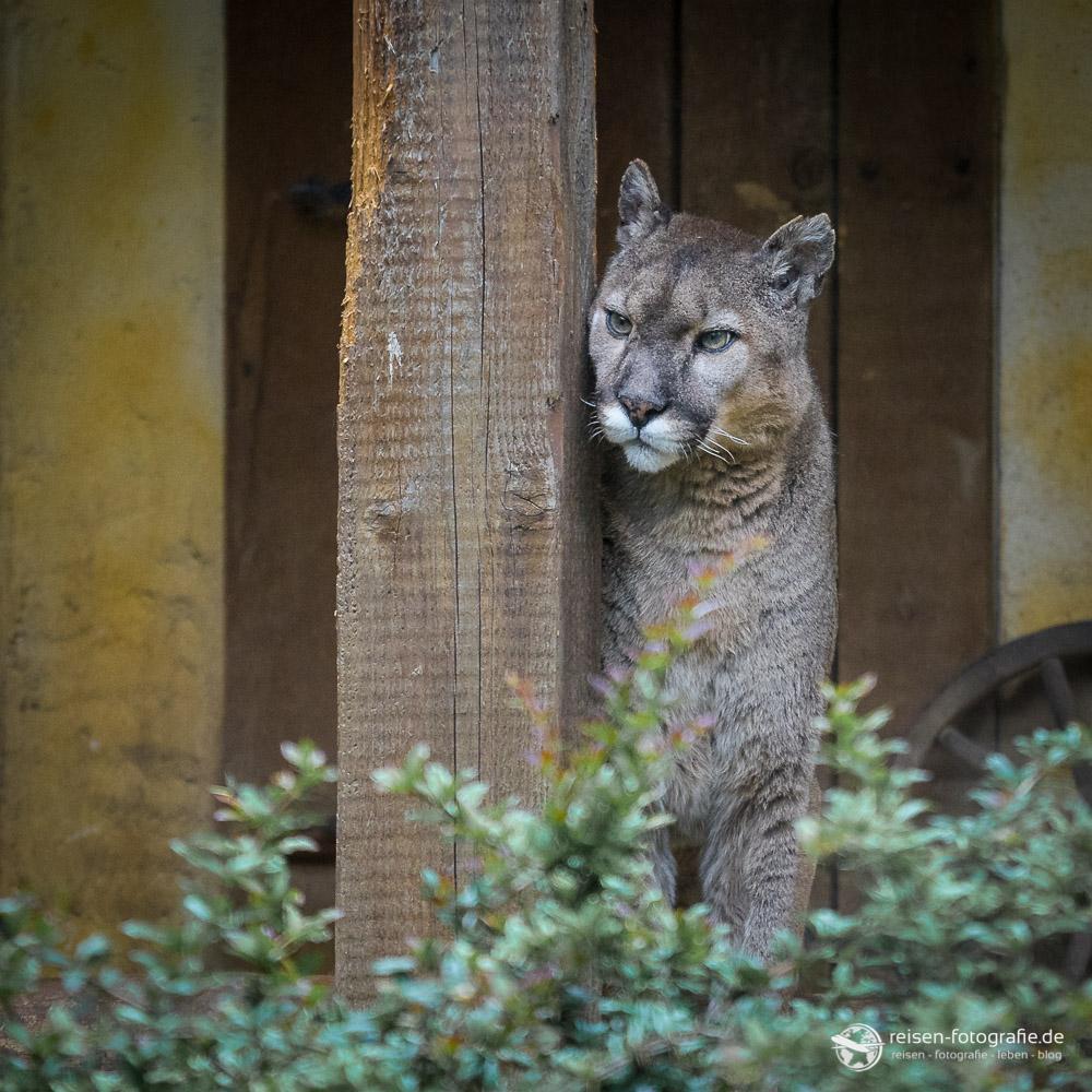 Puma im Zoo Amneville