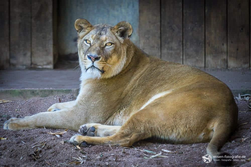 Löwin Zoo Amneville