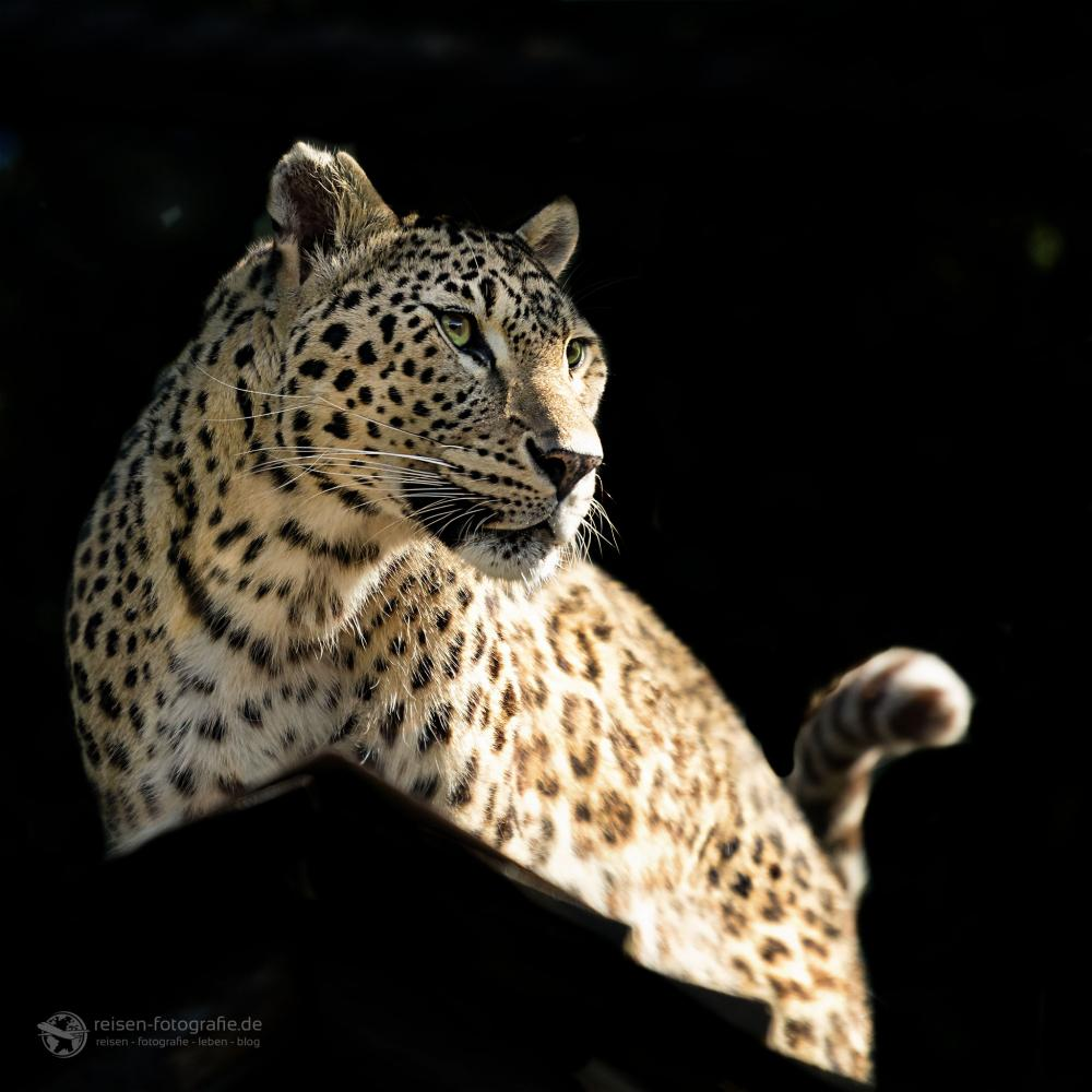 Leopard Zoo Amneville