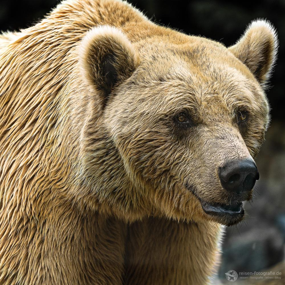 Braunbär Zoo Amneville
