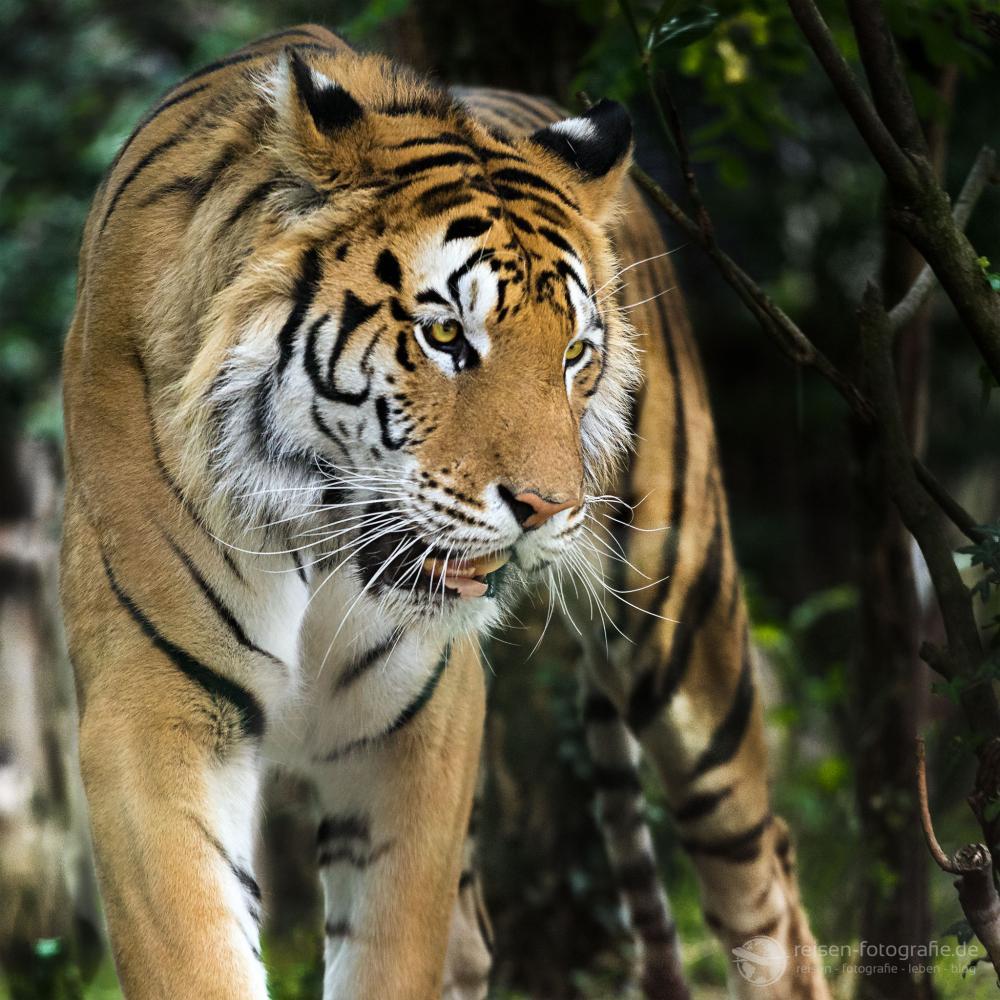 Tiger Zoo Amneville