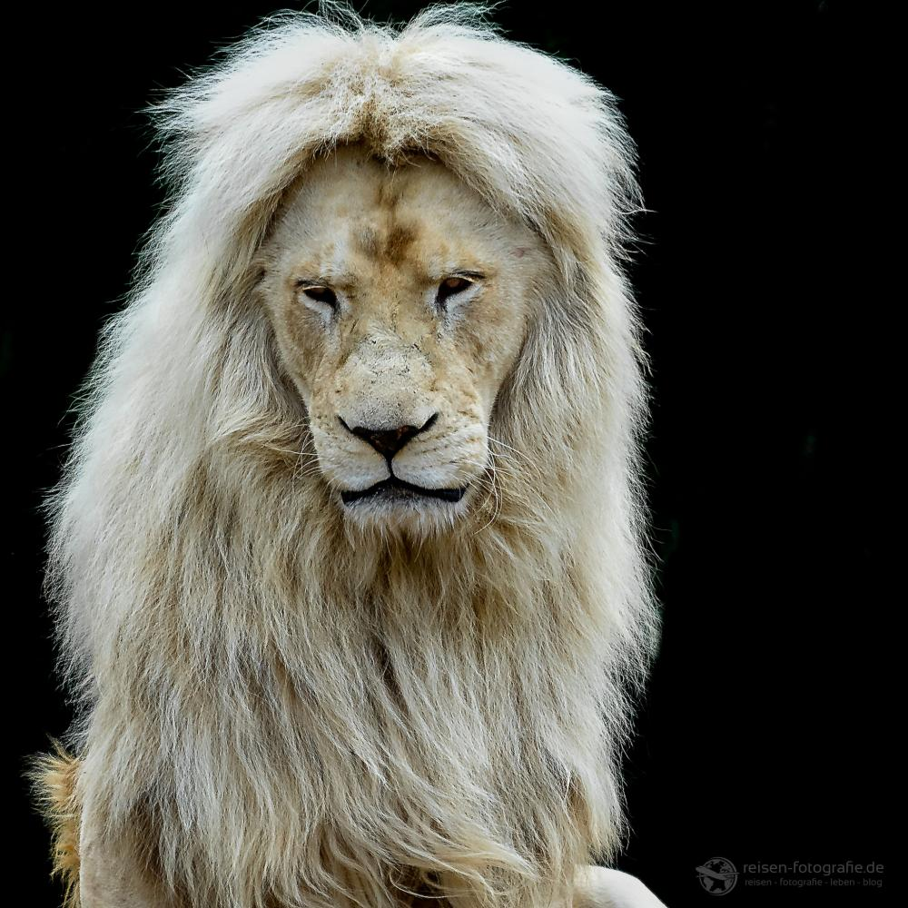 Weißer Löwe Zoo Amneville