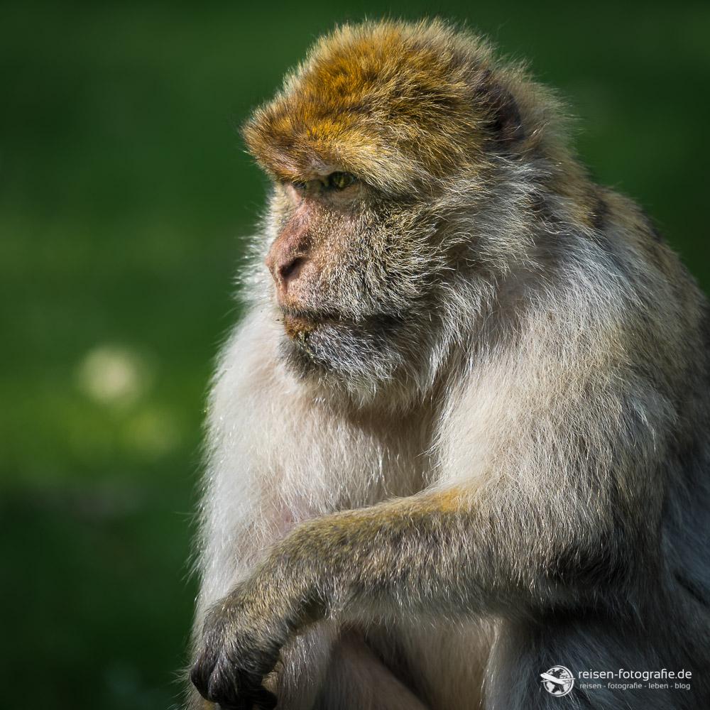 Der Denker im Affenwald