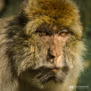 Berberaffe Portrait im Affenwald