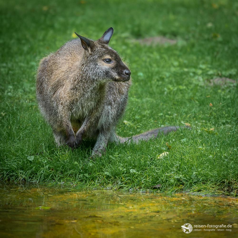 Känguru am Wasser