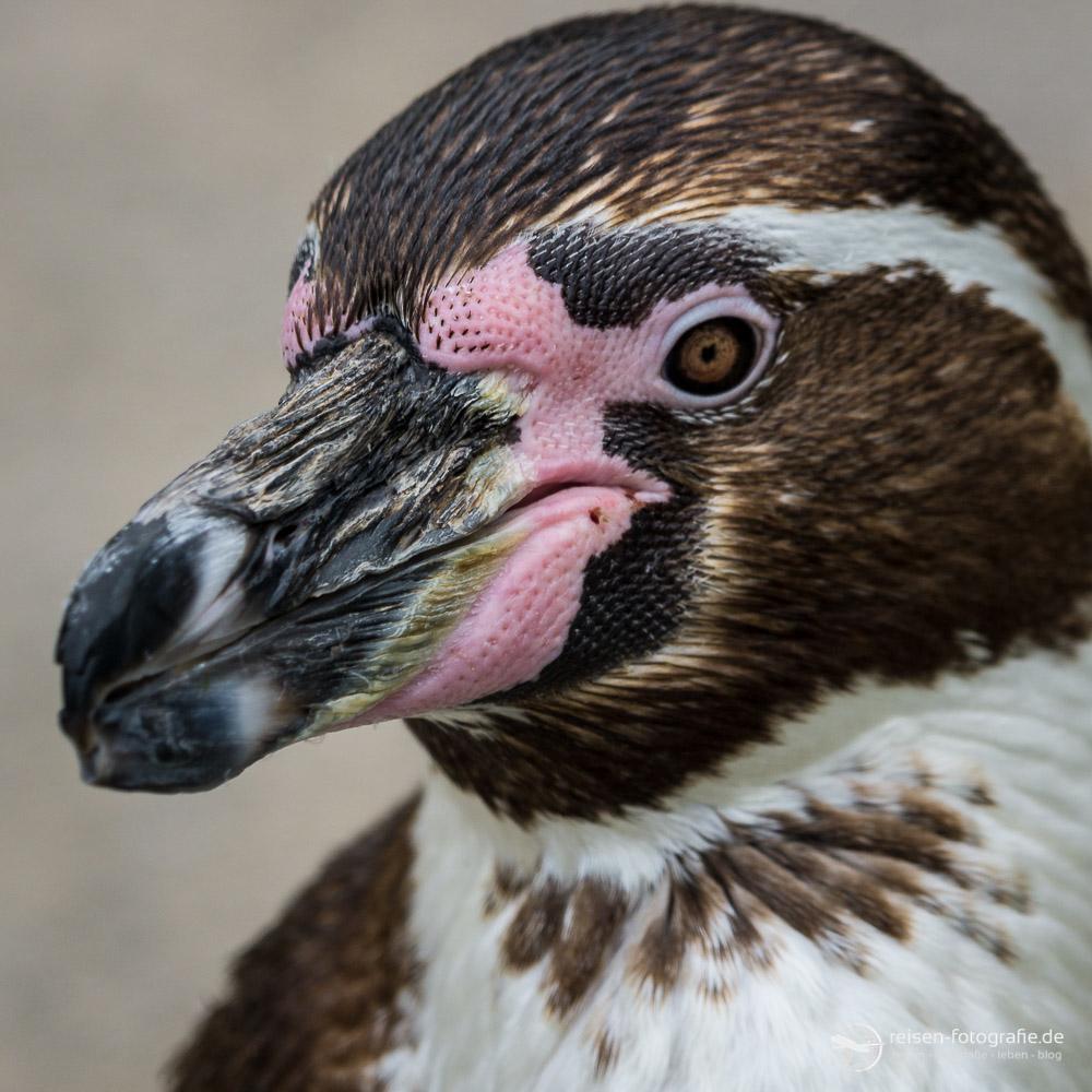 Pinguin Portrait - Auge in Auge